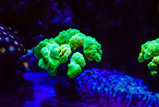 Lebende korallen in einem großen meerwasseraquarium