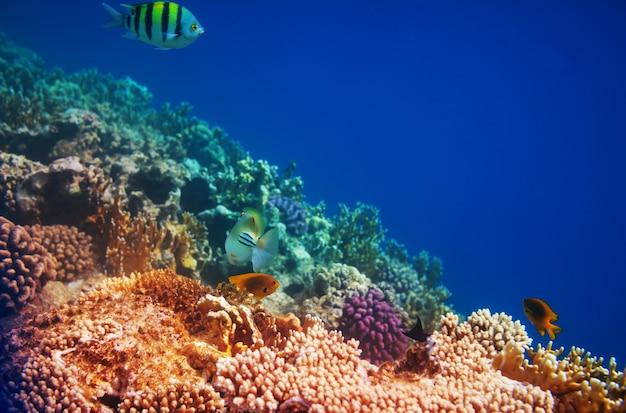 Lebendes korallenriff im roten meer, ägypten. natürlicher ungewöhnlicher hintergrund.