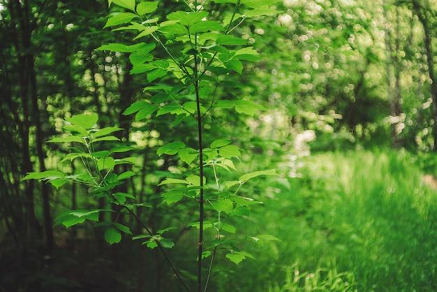 Lebendige blätter von bäumen auf bokeh hintergrund. reiches grün im sonnenlicht mit kopierraum. üppige laubnahaufnahme an sonnigem tag. natürlicher grüner hintergrund der malerischen natur in der hintergrundbeleuchtung. abstrakte textur.