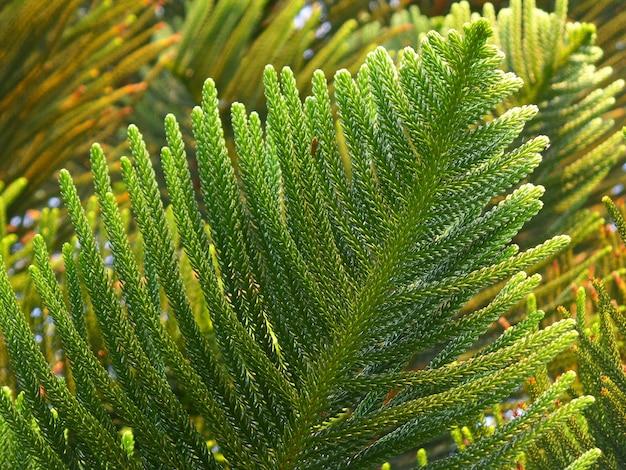 Lebendige grüne blätter von columnar araucaria oder cook pine im nachmittagssonnenlicht