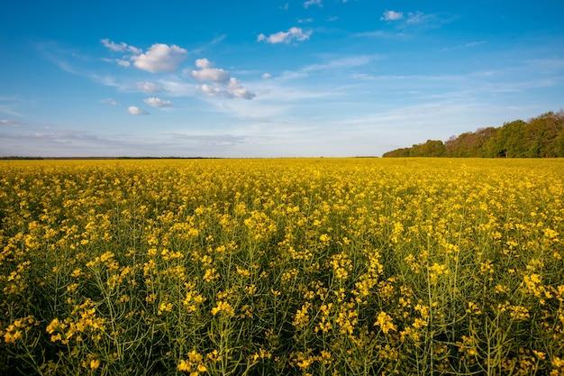 Lebendige landschaft mit blühenden rapsfeldern auf dem land. gelbe landwirtschaftliche blumen zur herstellung von speiseöl, biodiesel, schmiermitteln und futtermitteln