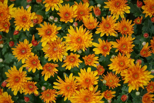 Lebendiger orangefarbener chrysanthemenblumenblumenhintergrund