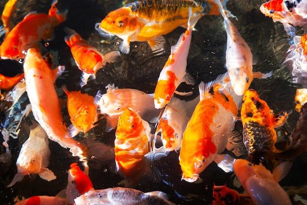 Lebhafter und farbenfroher japanischer karpfenfisch in einem schönen koi-teich in einem garten. lebendige chinesische fancy carp fische schwimmen fröhlich im klaren wasser.