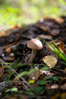 Leccinum scabrum wächst am häufigsten unter espenbäumen im wald und darüber hinaus. essbarer pilz.