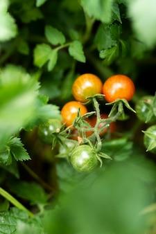 Leckere tomaten in grünen blättern versteckt