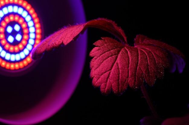 Led-phytolampe wird mit rotem licht von pflanzenblättern beleuchtet. nahaufnahme.