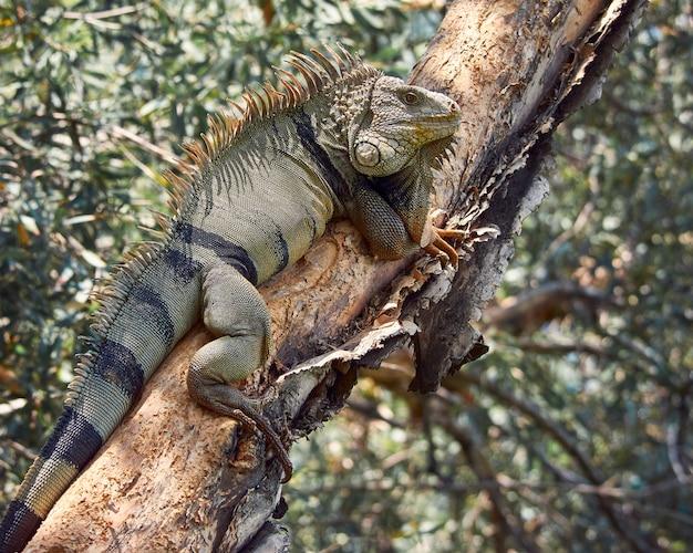 Leguan ruht auf einem baum beim sonnenbaden