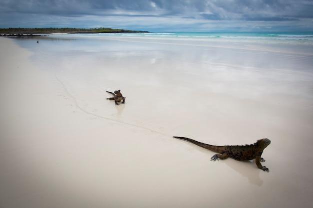 Leguane an einem weißen sandstrand auf galapagos