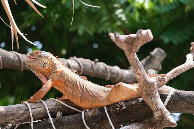 Leguane sind gattungen von eidechsen, die in den tropen mittelamerikas, südamerikas und auf den karibischen inseln leben. roter leguan, unscharfer hintergrund