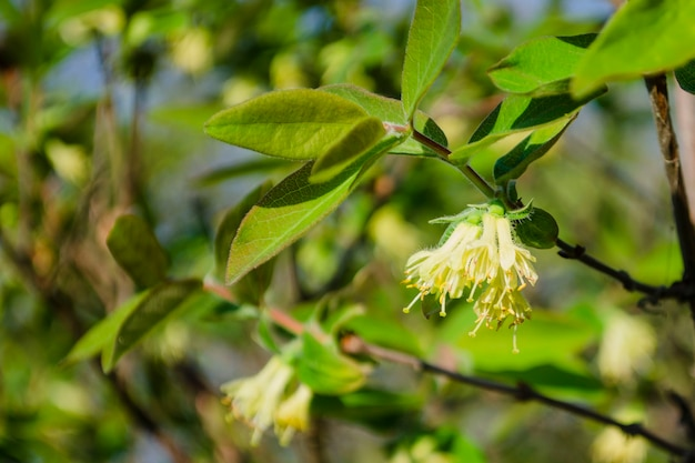 Leichte honigfarbene frühlingsblumen des sibirischen geißblattes an einem sonnigen tag auf einem hintergrund des laubs. lonicera