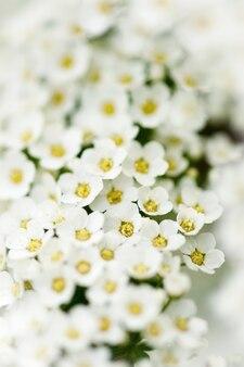 Leichte, luftige massen kleiner weißer blüten.