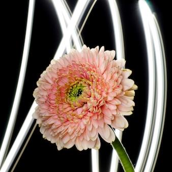 Leichte rosa gerberablume vor abstraktem hintergrund. floristische kulisse.