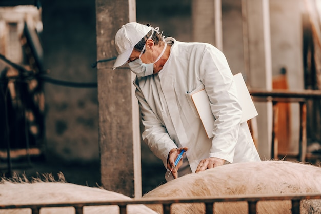Leitender tierarzt in weißem mantel, hut und mit schutzmaske im gesicht, die die zwischenablage unter der achsel hält und einem schwein eine injektion gibt, während es in einer cote steht.