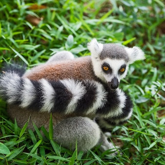 Lemur catta.