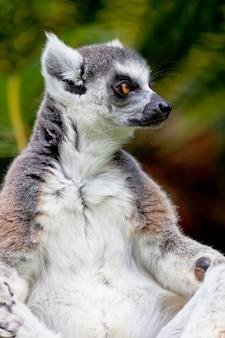 Lemur des ringförmigen schwanzes