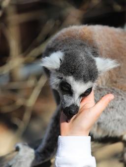 Lemur leckt die hand eines kindes