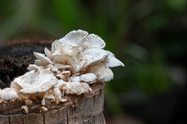 Lentinus squarrosulus mont, pilze auf natur.