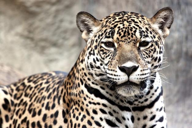 Leopard beobachtete etwas.