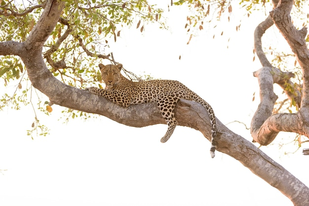 Leopard, der auf einem baum liegt, während er zur kamera hinunter schaut