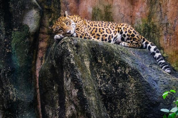 Leopard, der auf einem felsen gegen einen schwarzen hintergrund liegt.