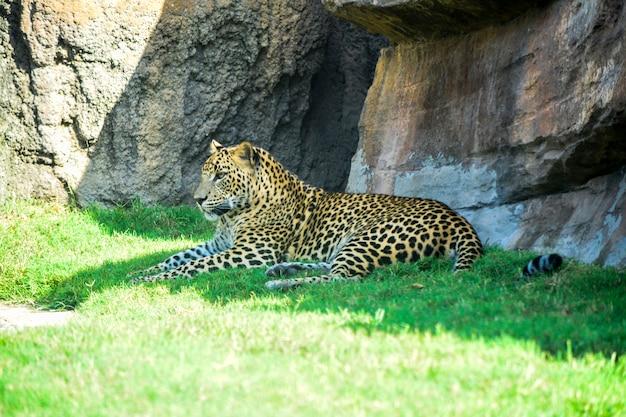 Leopard, der im schatten stillsteht