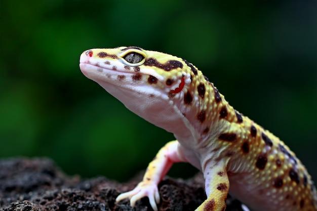 Leopard gecko auf einem stein