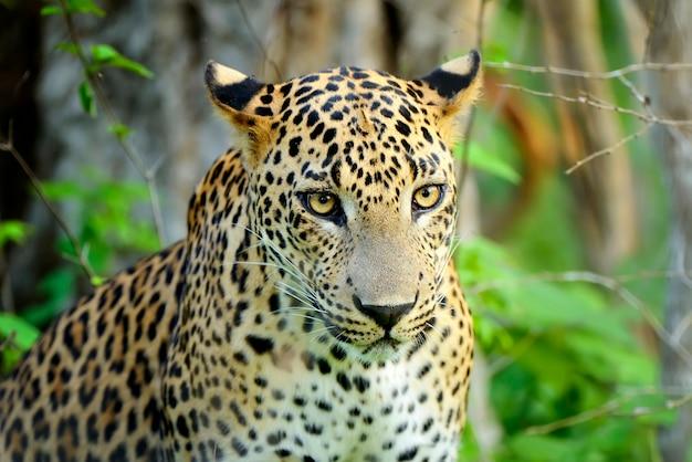 Leopard im dschungel