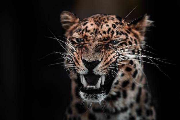 Leopard in einer dominanten pose, die sich in der sonne aalt, ohne sich um die welt zu kümmern.