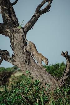 Leopard kommt von einem baum in tansania herunter