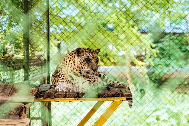 Leopard liegend auf holz