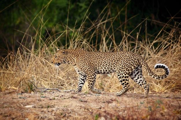 Leopard-porträt