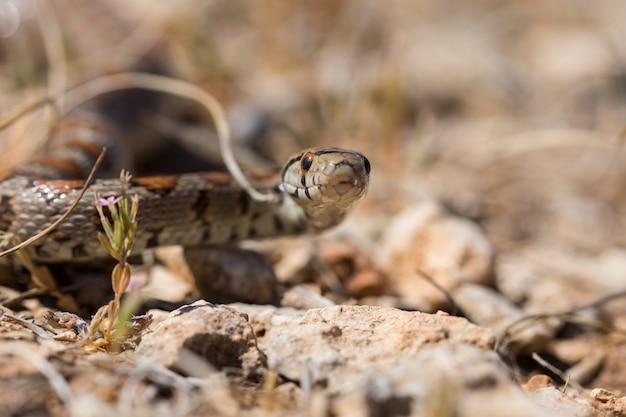 Leopardenschlange, die auf felsen und trockener vegetation in malta rutscht
