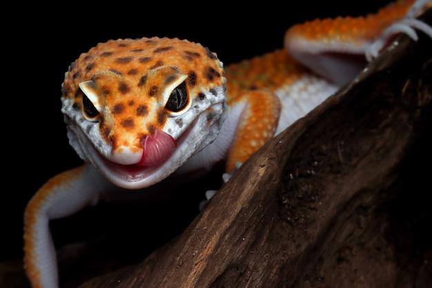 Leopardgecko auf einem ast