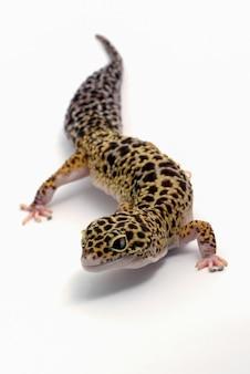 Leopardgecko auf lokalisiertem weißem hintergrund