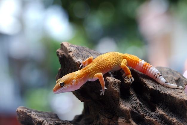 Leopardgecko auf natürlichem hintergrund