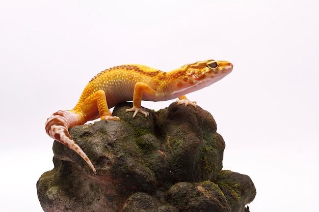 Leopardgecko auf weißem hintergrund