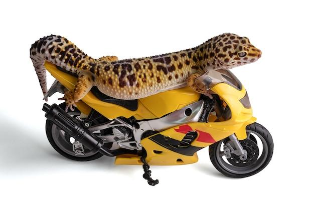 Leopardgecko (eublepharis macularius) mit moto auf weißem hintergrund