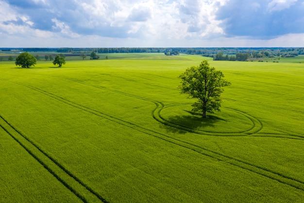 Lettische ländliche landschaft mit einsamem baum in der mitte eines grünen landwirtschaftlichen feldes an einem sonnigen tag