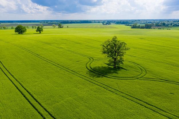 Lettische ländliche landschaft mit einsamen bäumen in der mitte eines grünen landwirtschaftlichen feldes an einem sonnigen tag