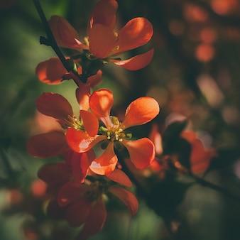 Leuchtend frühlingsrote quittenblüten auf einem von der sonne beleuchteten busch
