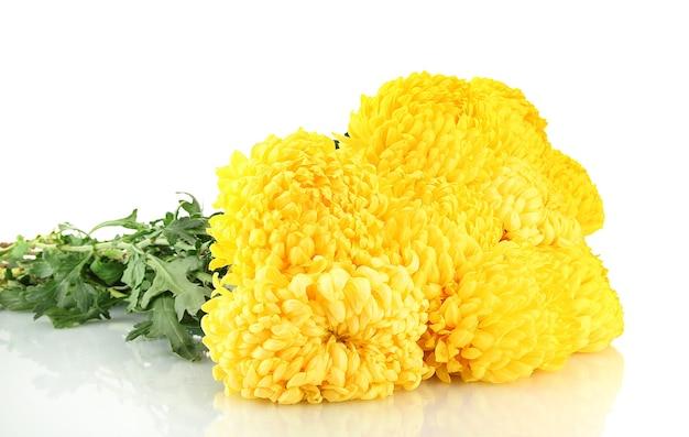 Leuchtend gelbe chrysanthemen auf weiß Premium Fotos