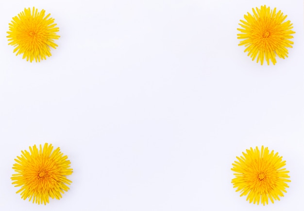 Leuchtend gelbe frühlingslöwenzahnnahaufnahme lokalisiert auf weißem hintergrund