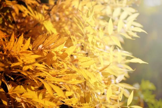 Leuchtend gelbe herbstblätter unter sonnenlicht.