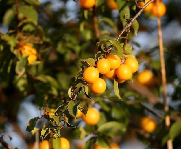 Leuchtend gelbe kirschpflaume (prunus cerasifera) fruchtaufnahme auf einer baumnahaufnahme im weichen morgenlicht