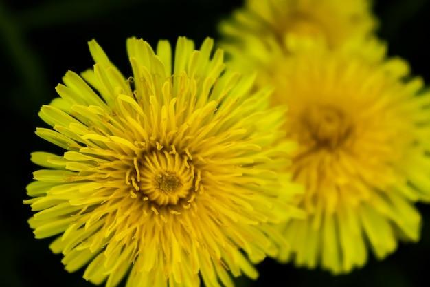 Leuchtend gelbe löwenzahnblume auf dunkelgrünem hintergrund... nahaufnahme. selektiver fokus.