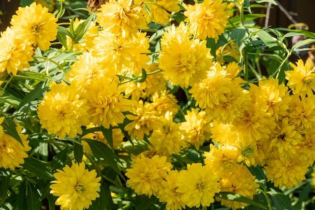 Leuchtend gelbe mehrjährige golden glow rudbeckia laciniata doppelblütige pflanze. rudbeckia laciniata gelbe blumen im garten nahaufnahme