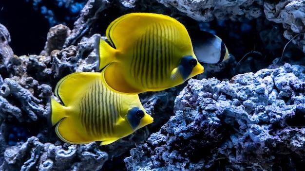 Leuchtend gelber fisch unter wasser auf dem hintergrund von korallen im roten meer. gelber tang zebrasoma flavescens.