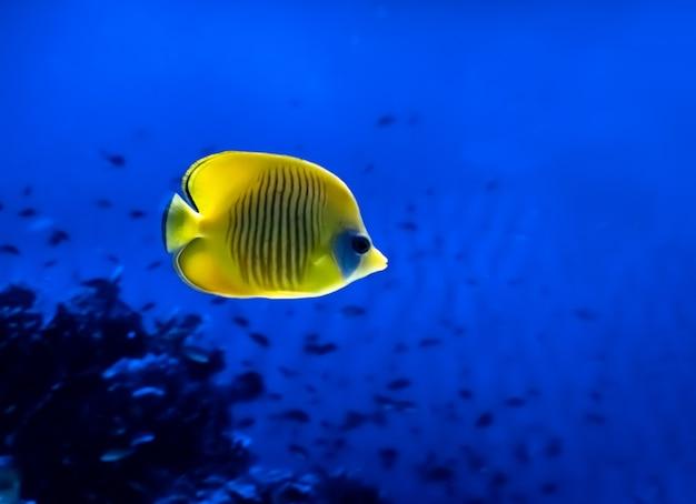Leuchtend gelber fisch unter wasser auf hintergrund der koralle im roten meer