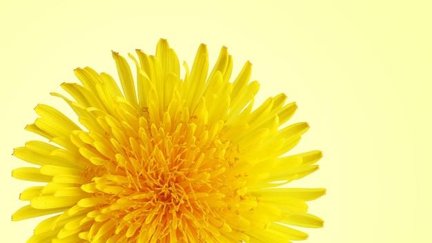 Leuchtend gelber löwenzahn auf hellem hintergrund Premium Fotos