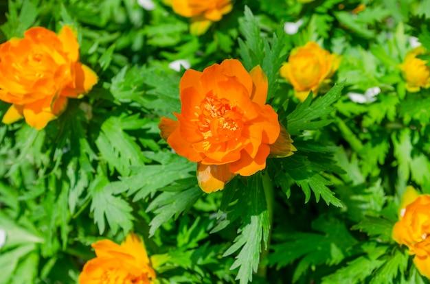 Leuchtend orange badeanzugblumen auf einem hintergrund des grünen laubs. natürlicher hintergrund. trollius asiaticus